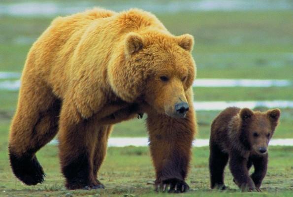 Под Тобольском убили медведицу